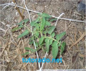 El cultivo tutorado puede usarse desde múltiples ángulos y para varias hortalizas a la vez.