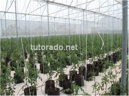 El tutorado de los cultivos es una práctica que ayudara a reducir los costos de su producción a la vez que le generara productos de mayor calidad.